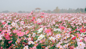 Guri Autumn Flower Festival 2015