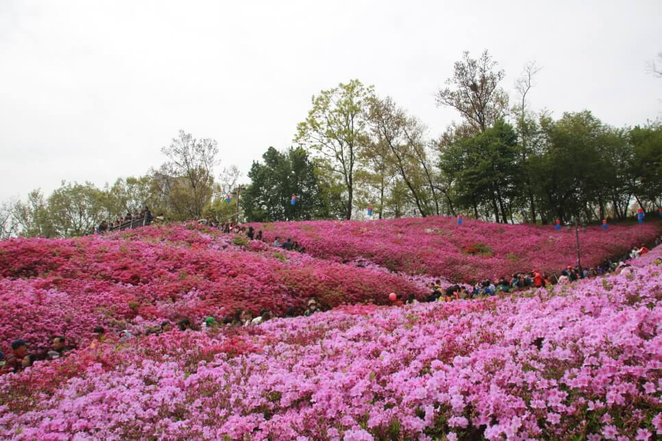 Royal Azaleas are Still in Full Bloom in Gunpo Royal Azalea Hill Even After the Festival Ends